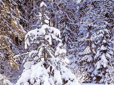 Mooie Achtergrond met bomen bedekt met sneeuw