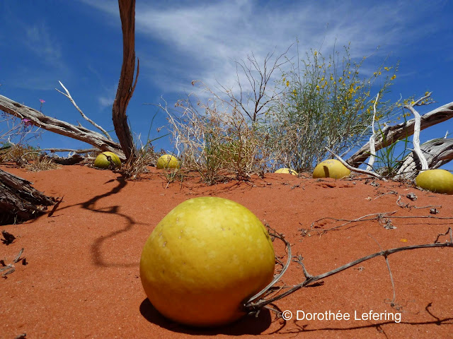 Melons growing in the red sand on dunes in the Australian desert.
