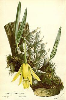 Orquídea de donde se obtiene la goma del Tzácuhtli