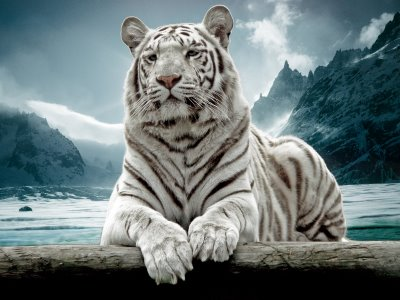 Tigre-Branco-Neve | Características dos Tigres-Brancos-Neve