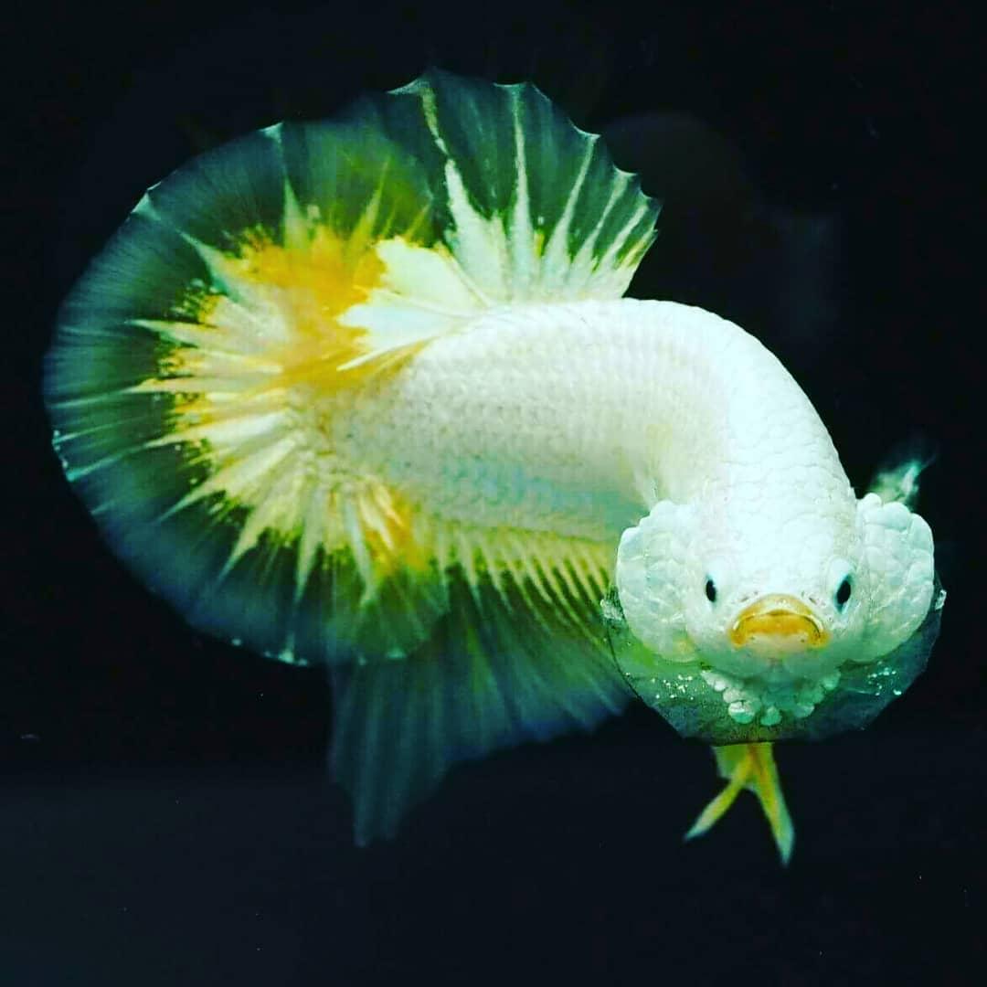 Unduh 50+ Gambar Ikan Cupang Tercantik HD Terbaik