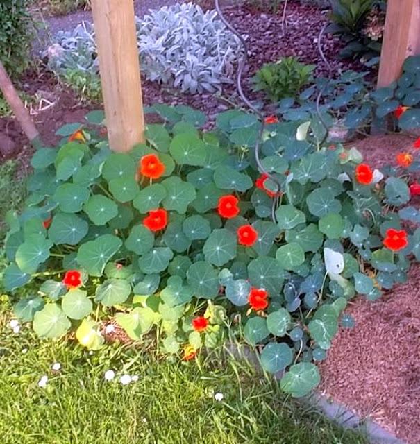 Heilpflanze des Jahres 2013