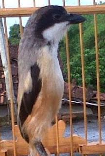 Banyak cendet mania kebingungan tanya sana sini mengenai  Cara Mengatasi Paruh Burung Cendet Patah