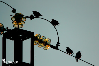 Estorninos negros (Sturnus unicolor) de madrugada posados sobre un cable.