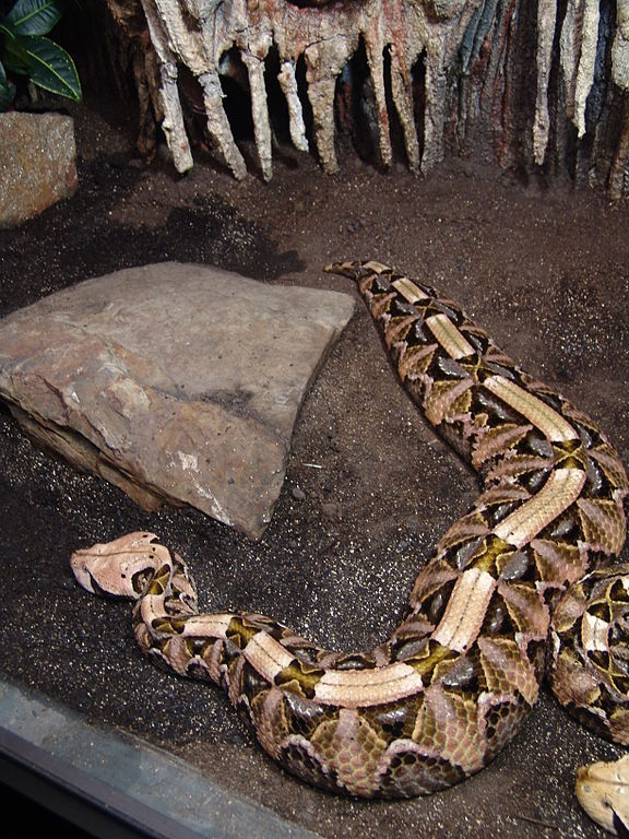 Snakes  Gaboon Viper