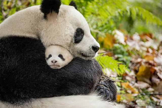 Born in China Poster Panda Fun FACTS