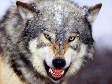 serigala. jpg