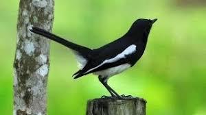 Cara Mudah Untuk Menjinakkan Burung Yang Giras dan Liar