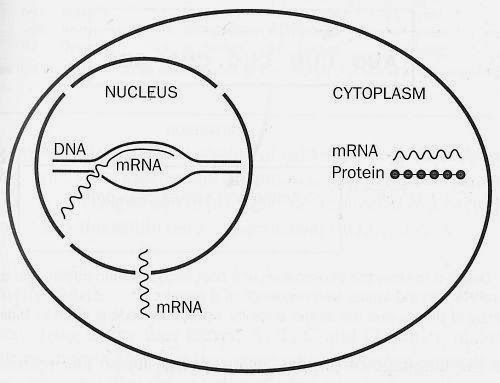 Human body flow diagram mania: About central dogma in biology