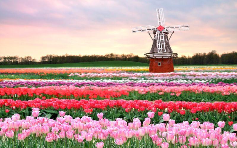 Menyaksikan Keindahan Lautan Bunga Tulip di Belanda