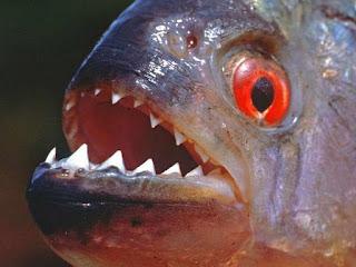 Jenis Dan Daftar Harga Ikan Piranha