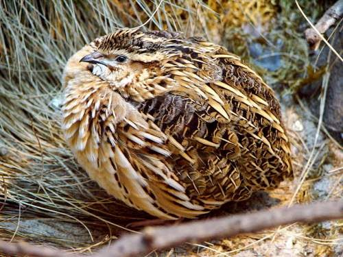 Indian bird - Common quail - Coturnix coturnix