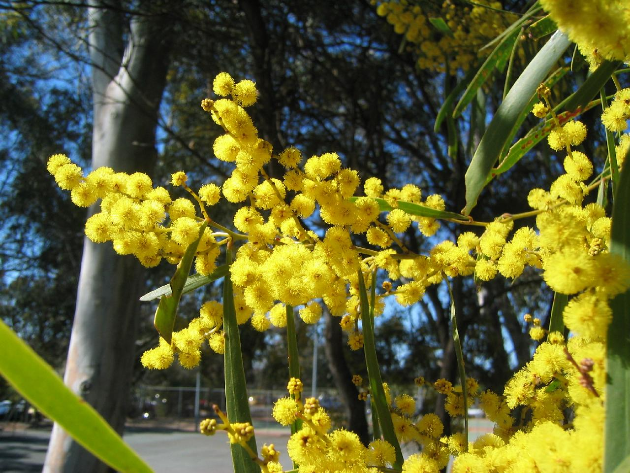 Golden Wattle Australia National Flower Flowers Flowers