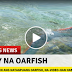 WATCH: OARFISH Caught on Camera Swimming