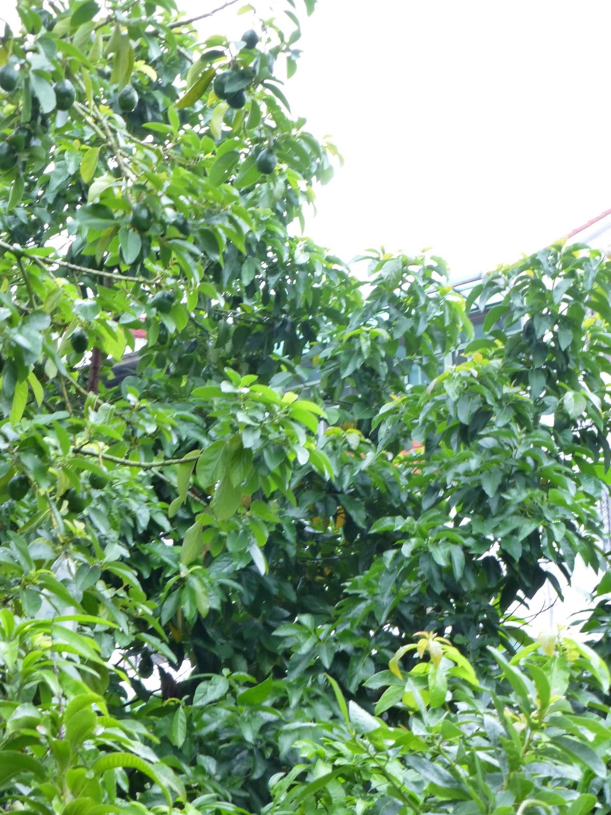 Garden 2.0: 住南部的朋友有沒發現~今年的酪梨怎麼啦?