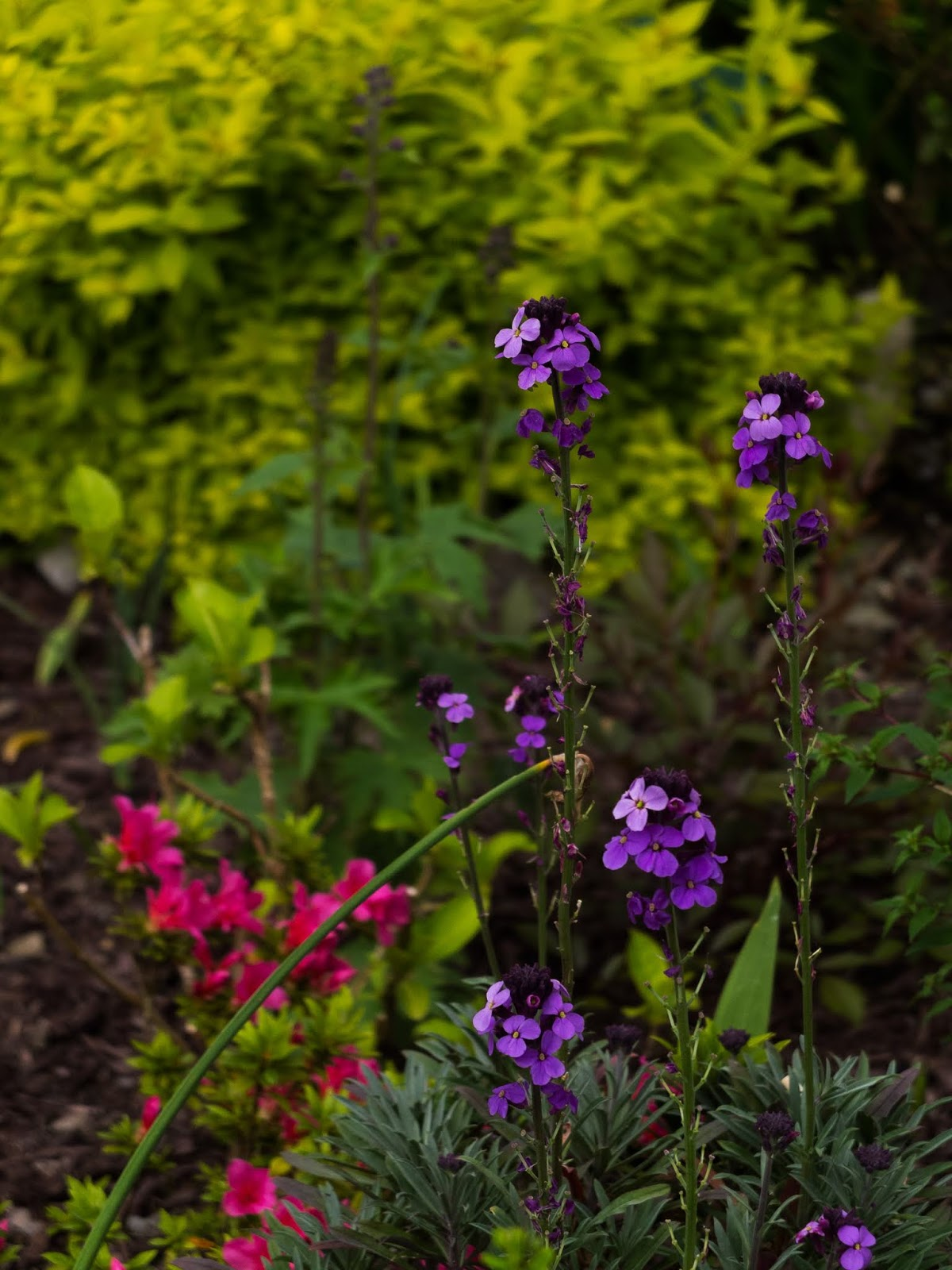 Purple wallflowers and pink Azaleas with a light green bush in the background.