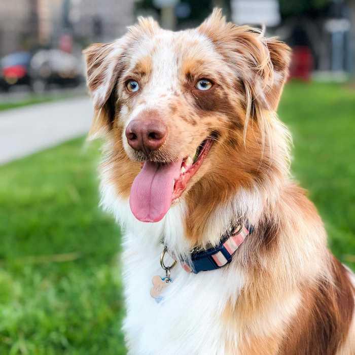 Care needs an Australian Shepherd dog