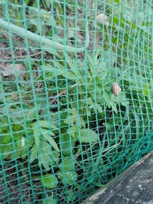 Proteggere l'orto dalle lumache con una rete