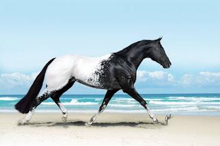 iriscodemel Foto. Cenário: dia de sol. Em foco e em primeiro plano, um imponente cavalo Appaloosa de porte médio, com variação na pelagem densa e lustrosa em preto e branco, dianteira do corpo em preto, traseira com predomínio branco; no encontro da troca de cores, o preto esmaece em pintas até tornar-se branco sólido. A cauda preta é longa, volumosa e bem aparada na extremidade; as patas seguem o mesmo padrão do corpo, finalizam quase brancas com cascos sujos de areia. O Appaloosa trota tranquilo à direita com passadas largas e a sombra, reflete no chão, abaixo do corpo. Ao fundo, no céu azul claro , algumas nuvens em toda extensão da linha do horizonte aproximam-se do mar azul esverdeado com marolas que desmancham-se em espuma na areia.