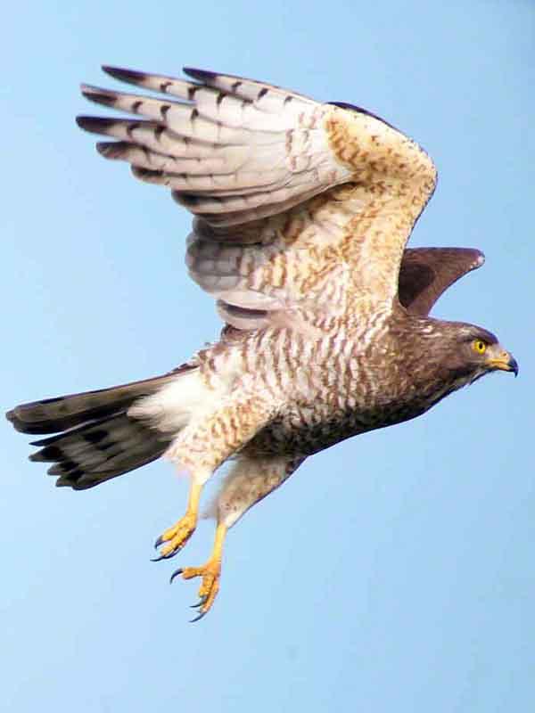 bird, Grey-faced Buzzard, flight, launch,