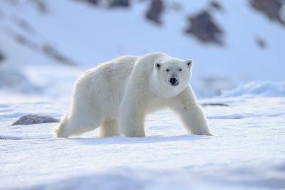 Beruang Putih