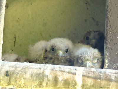 Falken Umzüge beim kräuterfraala
