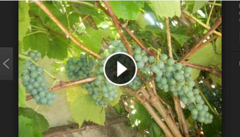C mo sembrar uvas en el patio de tu casa curiosidatos Como cultivar peces en casa