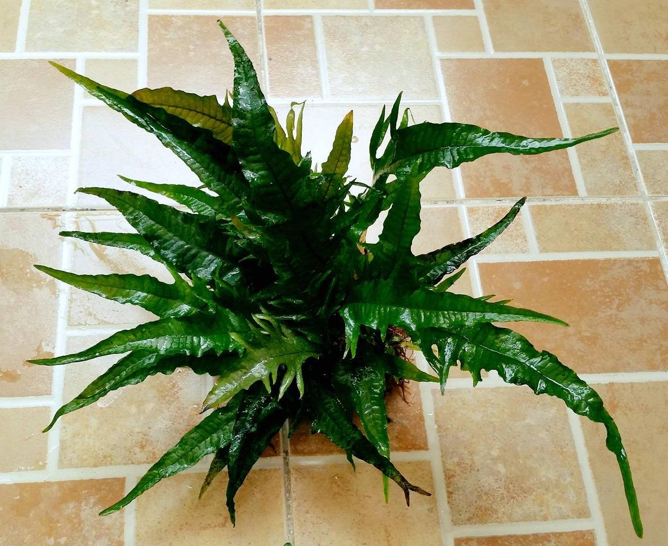 Phoniex - một loại dương xỉ lạ và đẹp cho bể thủy sinh