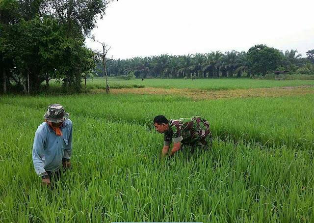 Bersama Petani di Desa Selayang, Babinsa Lakukan Penyiangan Tanaman Padi Jeni Ciherang