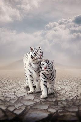Imagen de dos tigres blancos