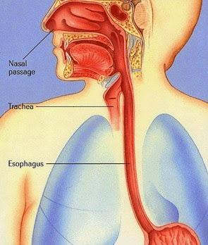 Bagan posisi esofagus pada manusia