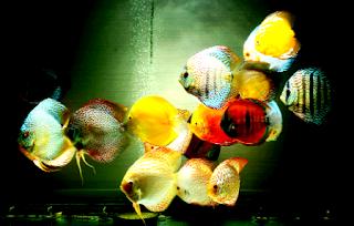 Beberapa penyakit ikan discus yang perlu di perhatikan
