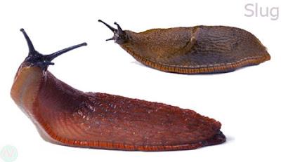 slug worm