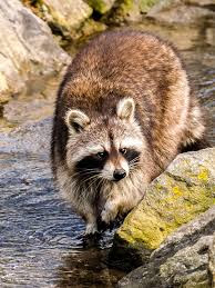 Why Do Raccoons Wash Their Food