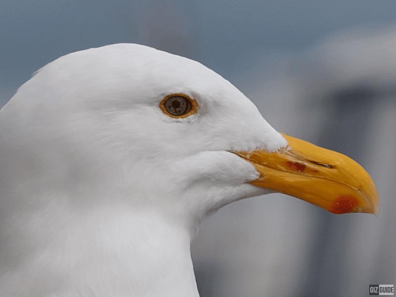 Seagull 100 percent crop