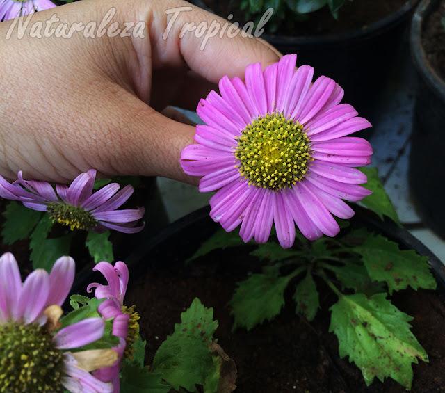 La floración en las plantas puede reprimirse. ¿Por qué?