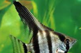 IKAN HIAS MANFISH ( ANGEL FISH )