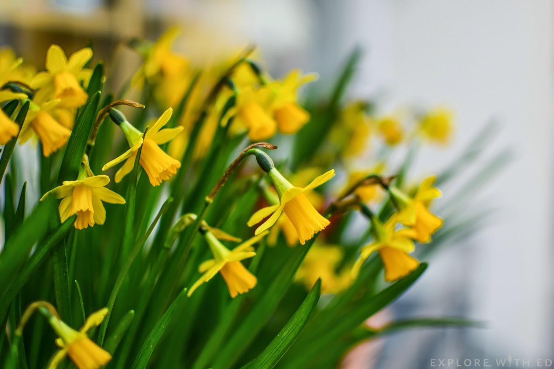 Welsh daffodils, a symbol of Wales
