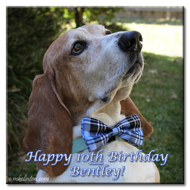 Bentley Basset Hound wearing bow tie for 10th birthday