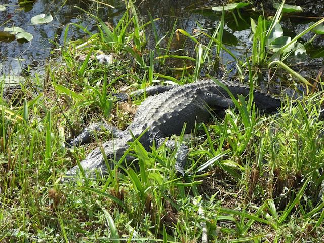 alligatore che dorme sulle sponde dei canali delle everglades