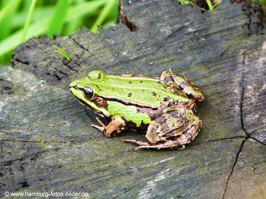 Grüner Frosch auf Baumstumpf