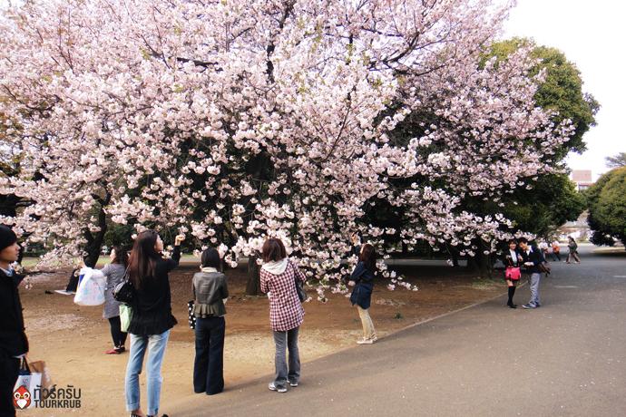 4. ทัวร์โตเกียว ชมซากุระที่สวนโยโยงิ