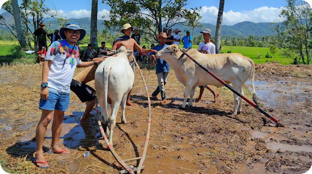 Pacu+Jawi+Sumatera+Barat