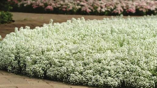 beautiful flower, Beautiful Garden, sweet Alyssum