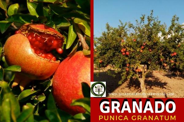 Granado, Punica granatum, árbol que nos da la esplendida Granada