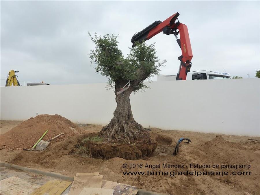 Colocación de olivo