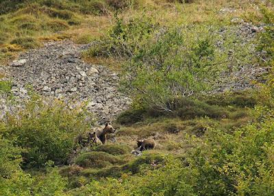 Oso pardo (Ursus arctos arctos) en Asturias