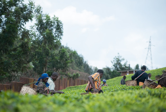 Sorwathe Tea Factory, Rwanda