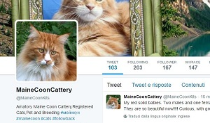 Red Maine Coon Cattery Twitter