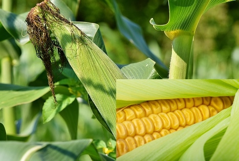 7 Amazing Health Benefits Of The Corn Maize